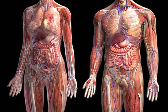 Qué sucede en el interior del cuerpo humano cuando se consume ...
