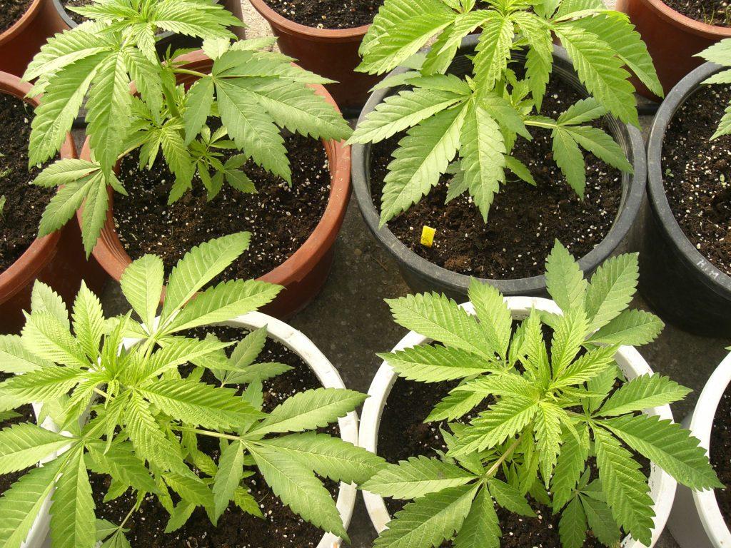 cultivando marihuana